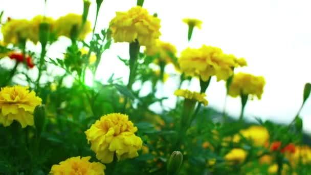 sárga körömvirág virág