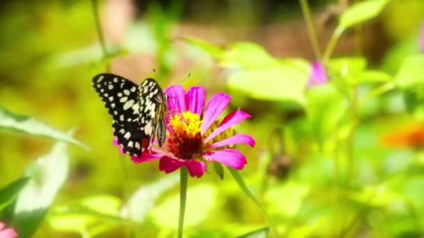 Butterfly (Chilasa Clytia)