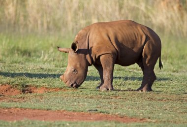 Young White Rhinocerus grazing on short green grass