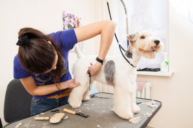 Fox terrier getting his hair cut
