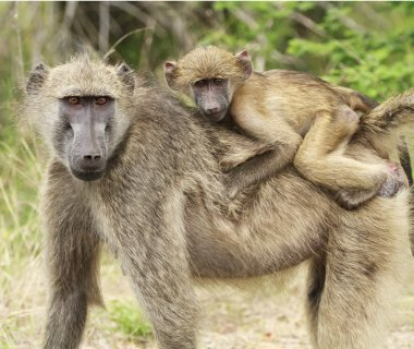 A mother and young baboon