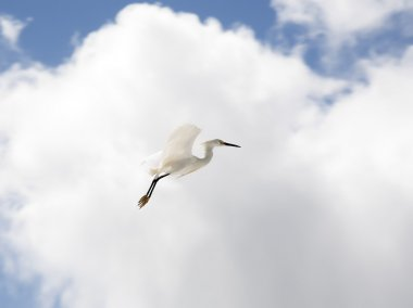 white snow egret flies