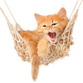 Photo Cute red-haired kitten in hammock