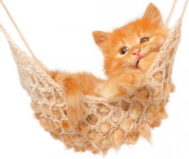 Cute red-haired kitten sucks his paw in hammock