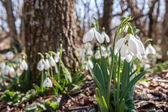 Fotografie Snowdrops in the forest
