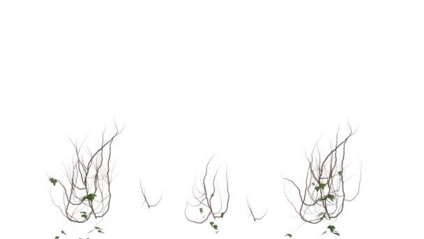 borostyán termesztése