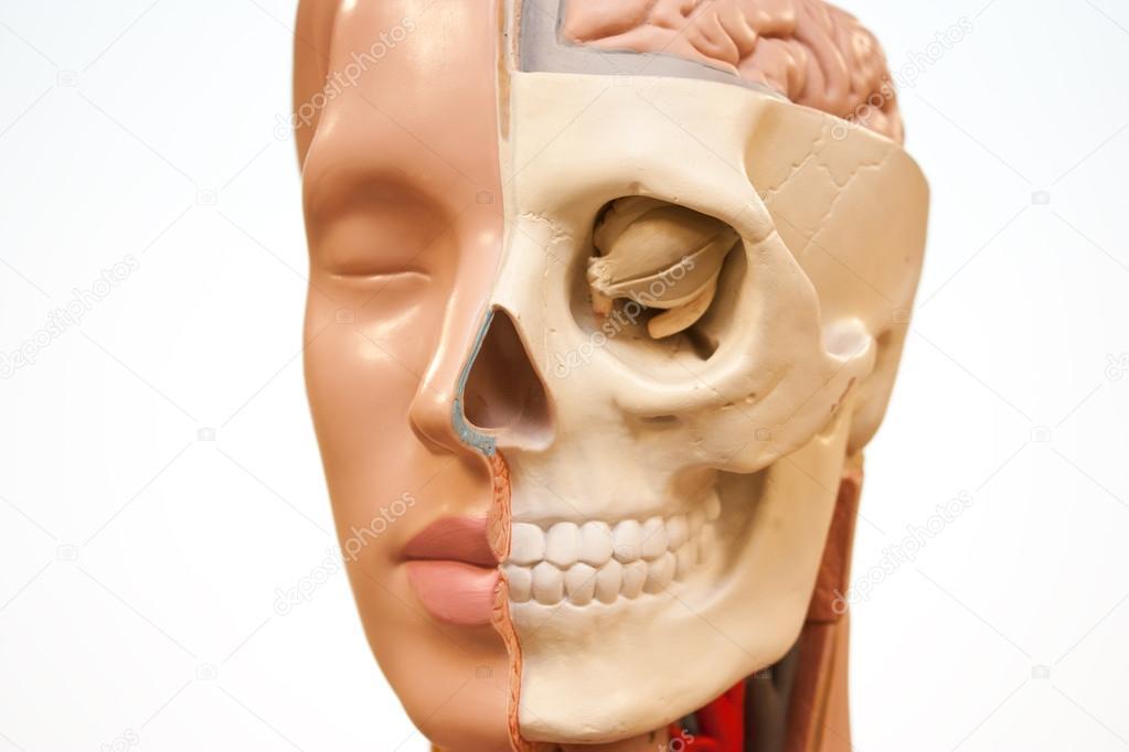 medizinische Gesicht Anatomie — Stockfoto © Arcady #22523007