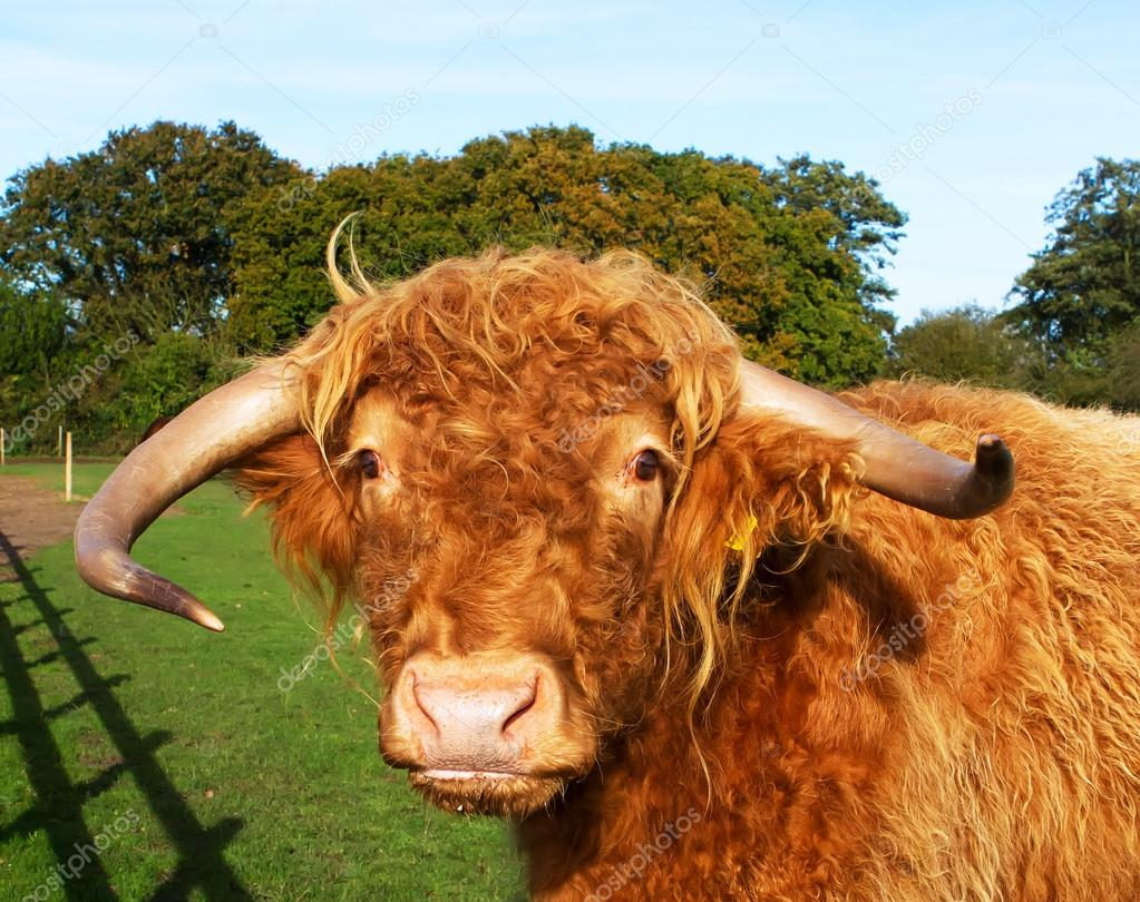 highland cow in a green grass field u2014 stock photo smikemikey1