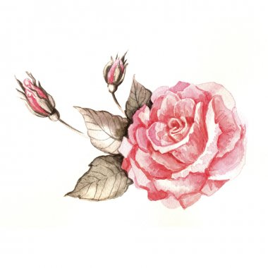 Watercolor rose illustration