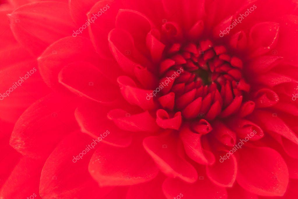 Close up photo of a red dahlia flower