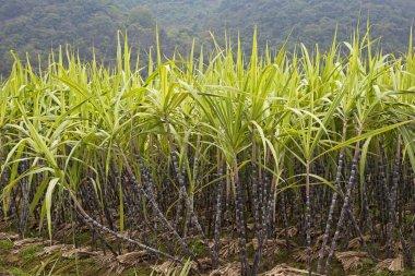A field of  sugar cane growing in Guilin county, Guangxi Zhuang Autonomous Region, China