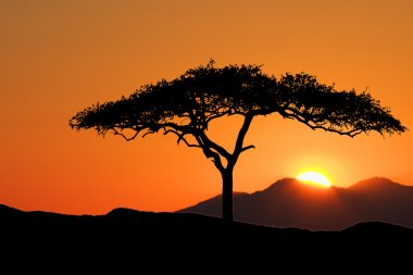 African Acacia Tree standing silhouetted against the morning sunrise
