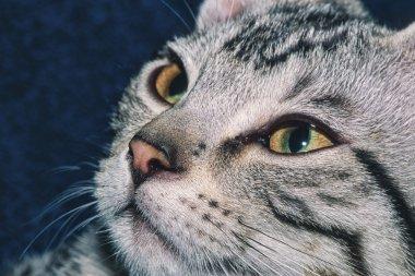 Portrait of a 5 month old gray tabby kitten