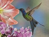 krásná swallow-tailed kolibřík eupetomena macroura od krajinou Brazílie
