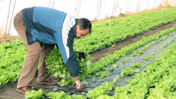 starší muž výsadby salát