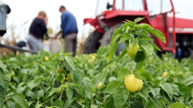 Field Workers Harvesting Yellow Bell Pepper