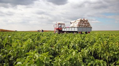 Field Workers in a Pepper Field