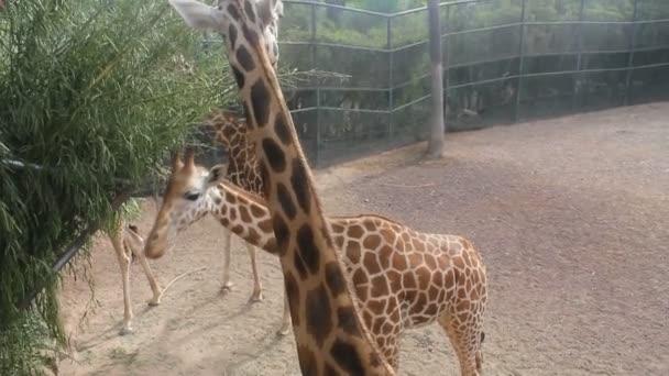 skupiny žirafa jí
