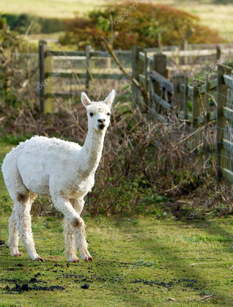 White Alpaca in a field