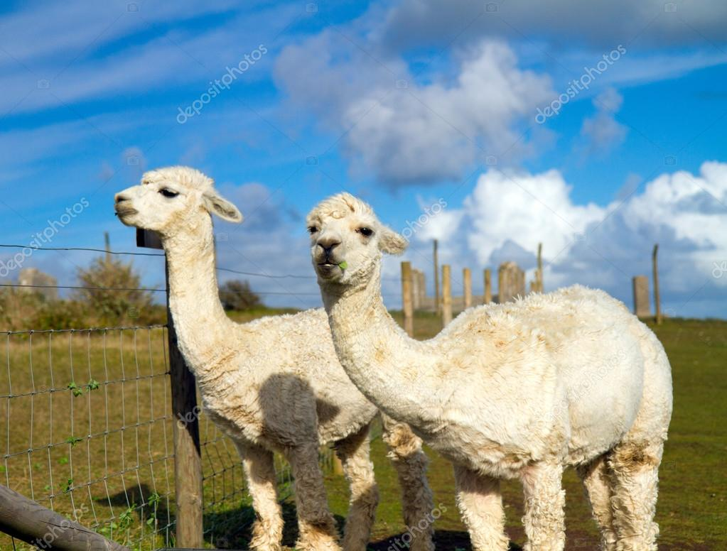 Two white Alpacas against a stunning blue sky