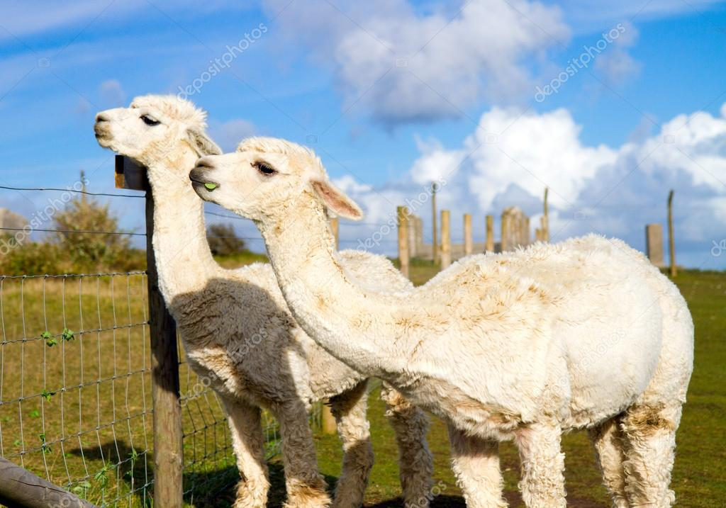 Two Alpacas against a stunning blue sky