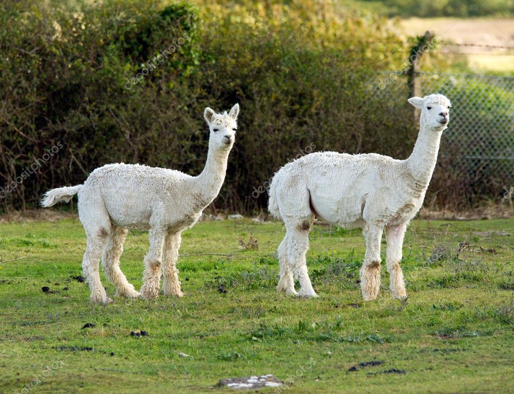 Two white Alpacas on a farm