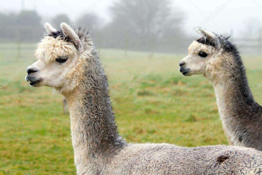 Pair of Alpacas