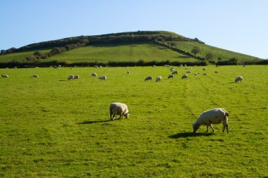 Sheep at foot of Brent Knoll Somerset