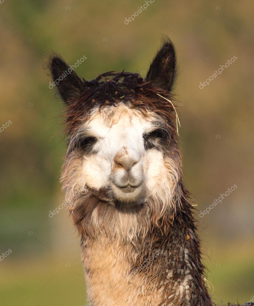 Female Alpaca portrait