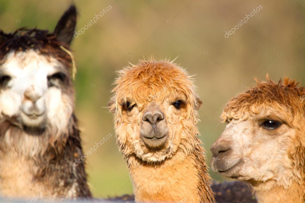 Female Alpacas like llamas