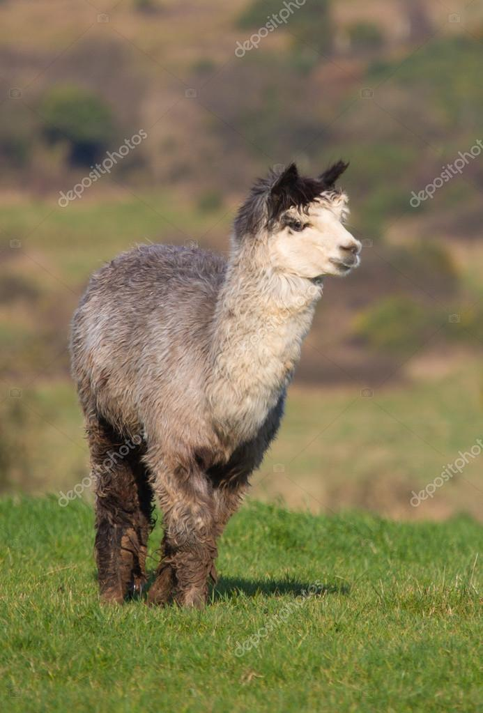 Male Alpaca like llama in farm field
