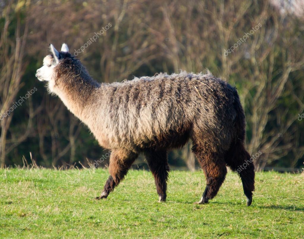 Female Alpaca like llama in field