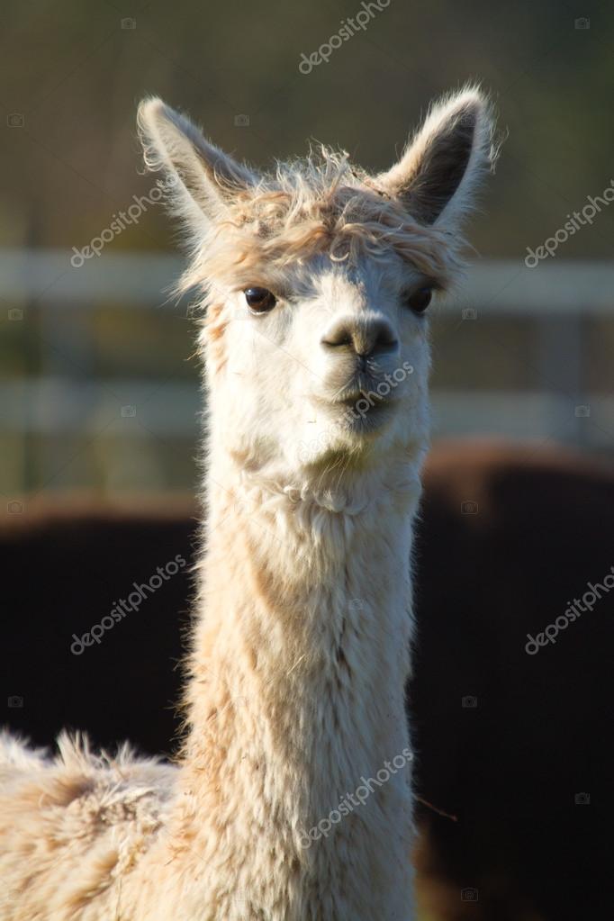 White Female Alpaca ears up