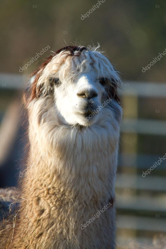Female Alpaca like llama with ears down