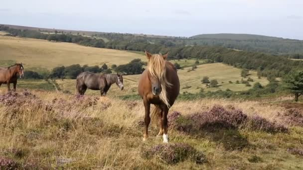 Light brown blonde pony and purple heather Quantocks Somerset