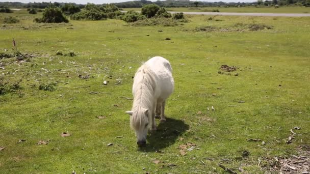 New Forest pony Hampshire England UK popular tourist location
