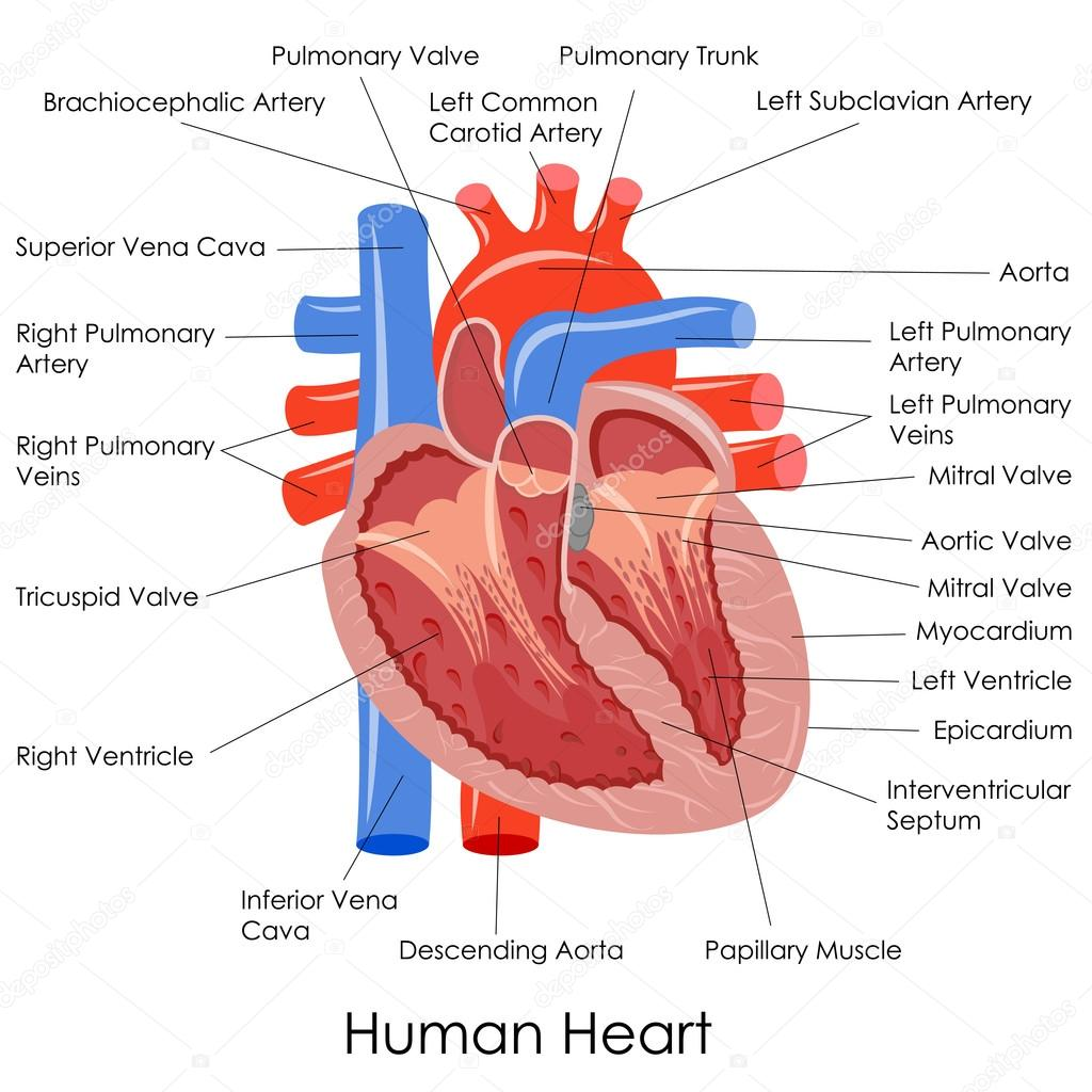 human heart anatomy — stock vector © stockshoppe #41264283