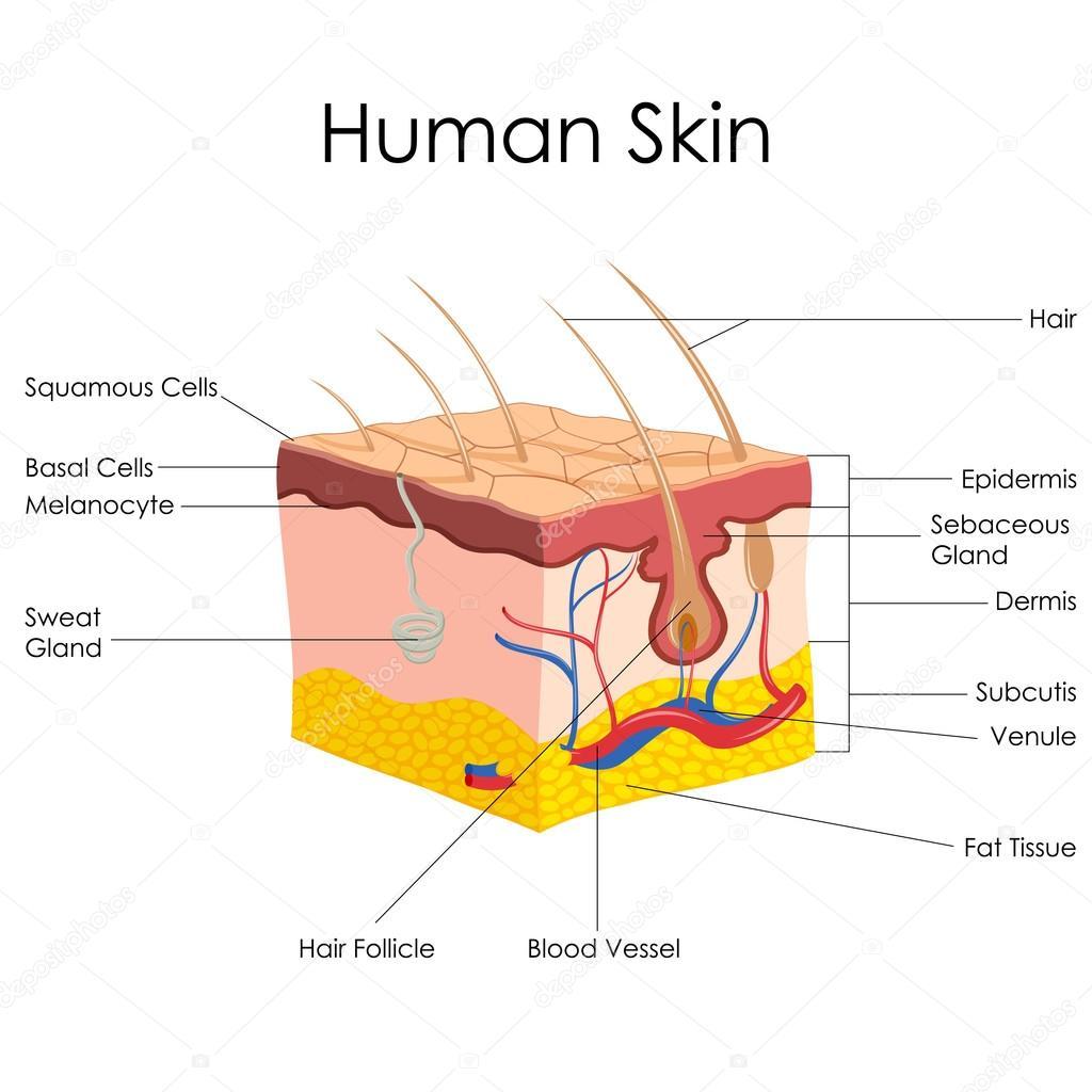 Anatomía de la piel humana — Vector de stock © stockshoppe #41264419