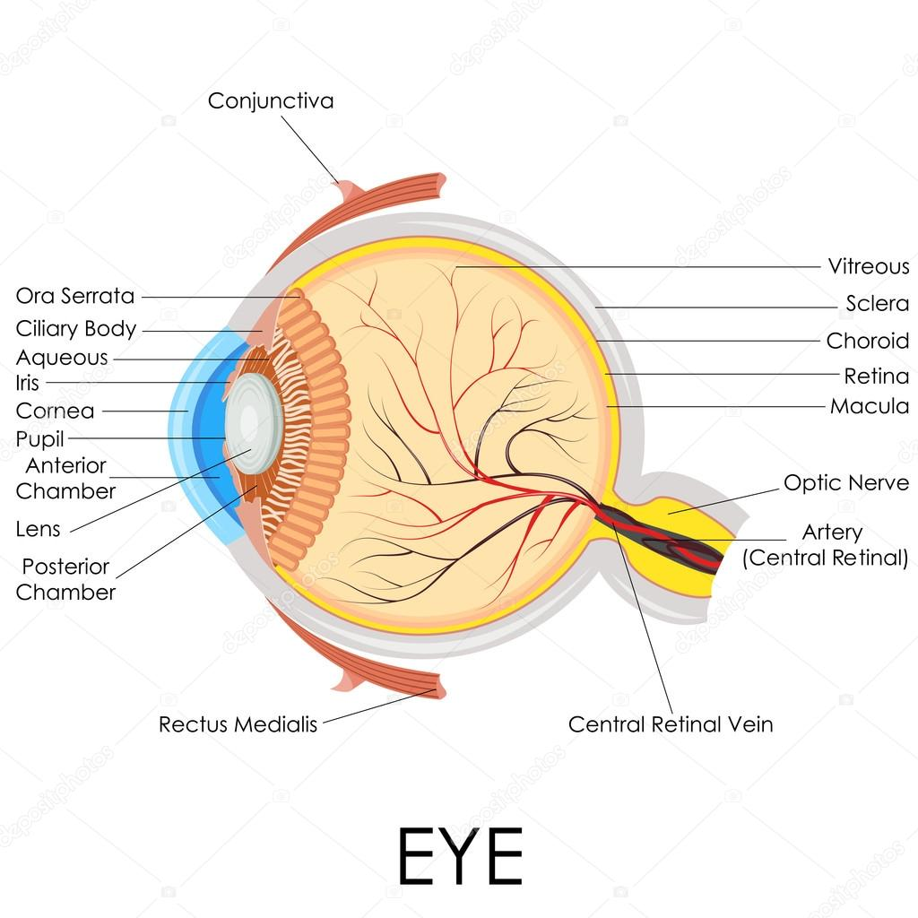 Human Eye Anatomy — Stock Vector © stockshoppe #41264445