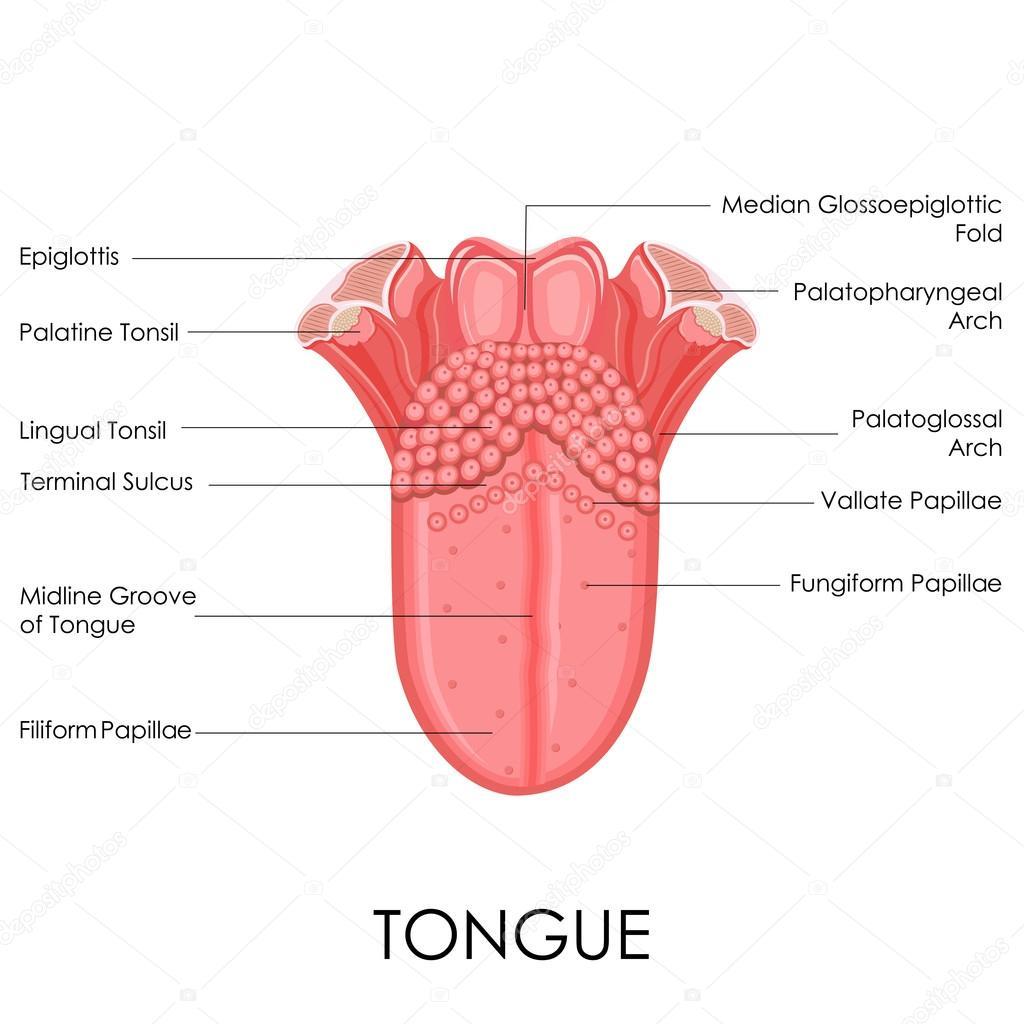 Anatomía de la lengua humana — Vector de stock © stockshoppe #42345287