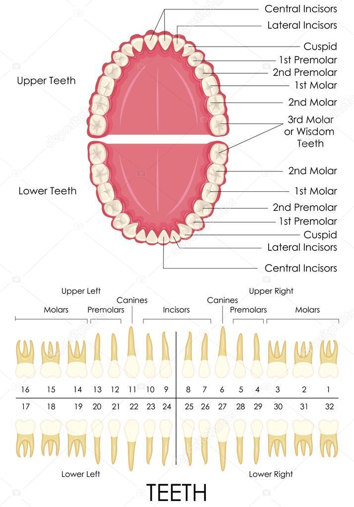 zahnärztliche Anatomie des Menschen — Stockvektor © stockshoppe ...
