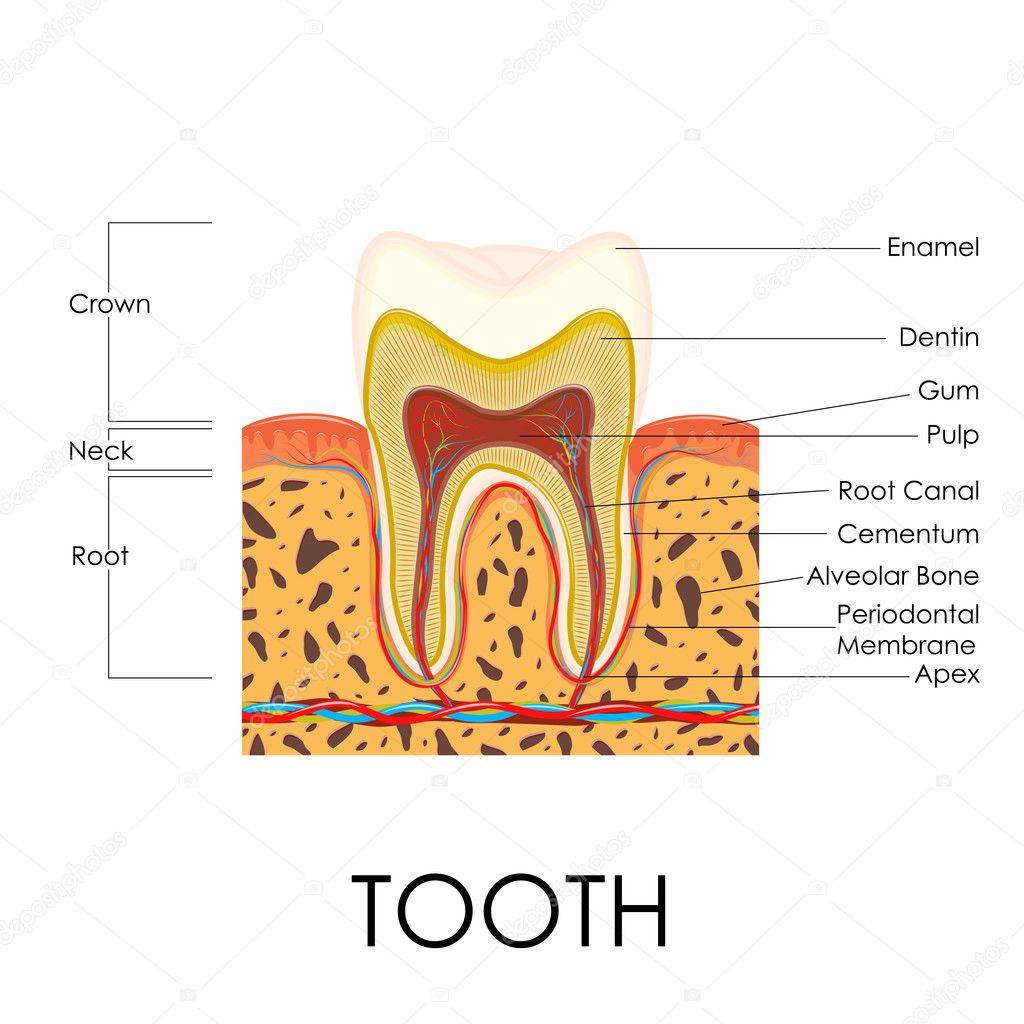 Anatomie der menschlichen Zahn — Stockvektor © stockshoppe #42345915