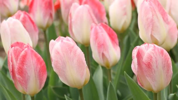růžové tulipány, pohybující se v slabý vítr