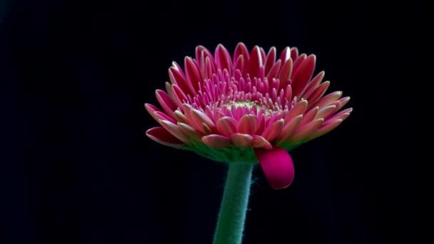 Gerbera flower bud closes