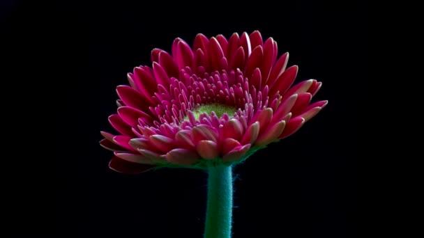 Gerbera flower bud opens