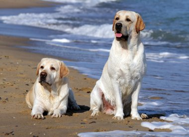 two yellow labradors looking at the sea