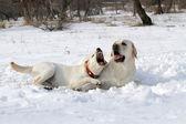 žluté labradory v zimě
