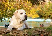 Gelber Labrador im Herbst