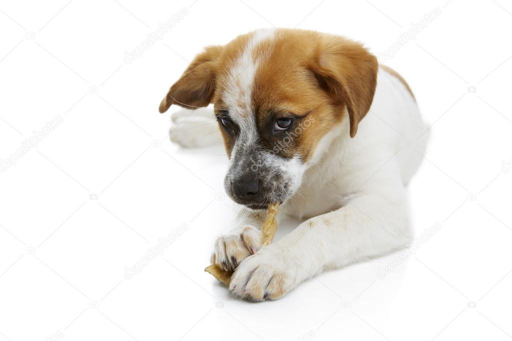 Dog eating rawhide treat