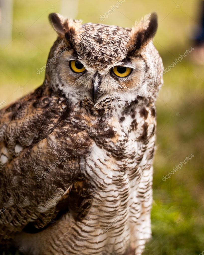 An owl with long ears